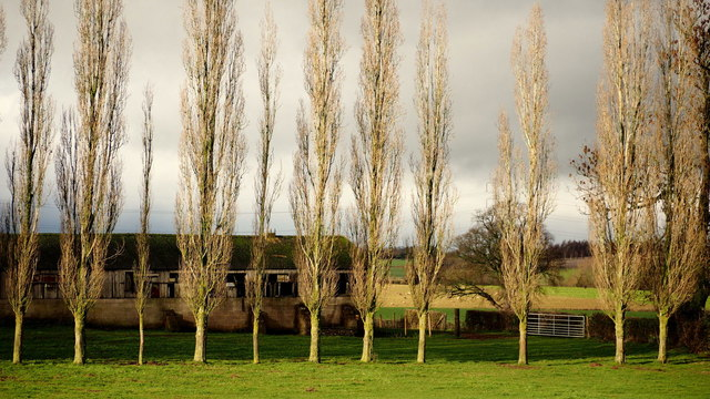 Row of poplars at Hendre farm, 2
