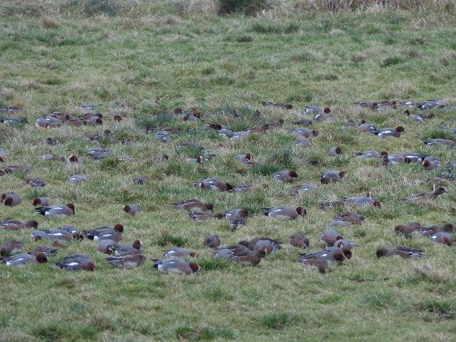 Wigeon, Buckenham Marshes