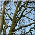 SE2813 : Branching beech by Alan Murray-Rust