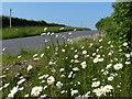 TL1380 : Ox-eye daisies near Manor Lodge Farm by Mat Fascione