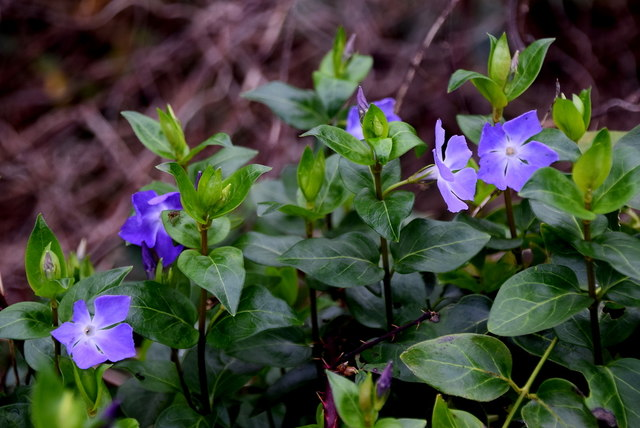Periwinkle plants, Cleanally