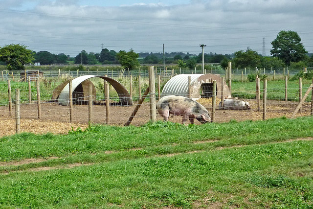 Pig enclosures near Bishton in Staffordshire