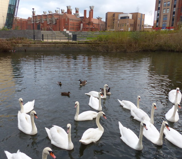 Swans on the Grand Union Canal