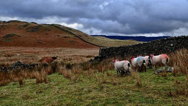 Blackarse sheep