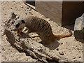 SW9360 : Screech Owl Wildlife Park - meerkat feeding by Stephen Craven