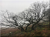 SK2681 : Winter tree on a foggy day by Graham Hogg
