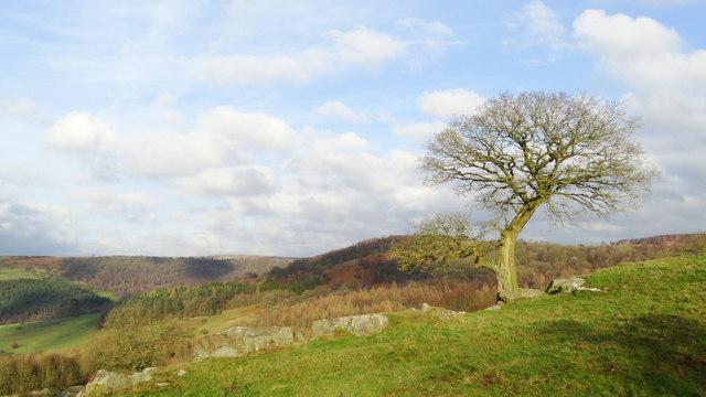 Lone tree on Dobb Edge, Chatsworth Park