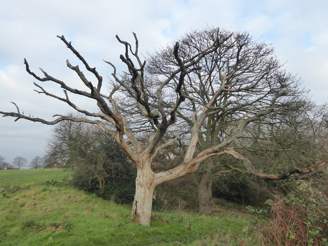 Dead tree on the edge of Winns Common