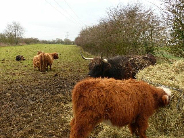 Highland cattle at Snaith