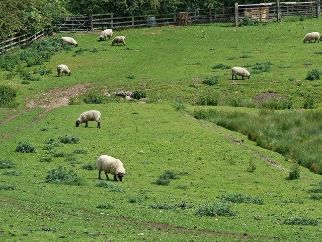 Sheep grazing north-east of Penkridge in Staffordshire