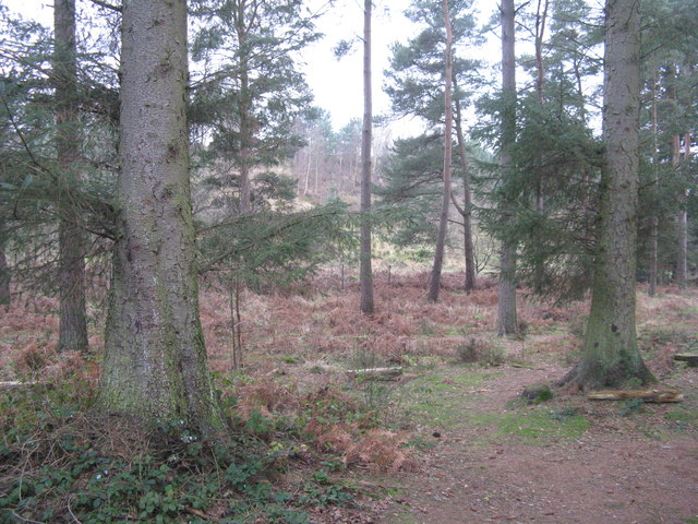 Spruce woodland at Whinfell