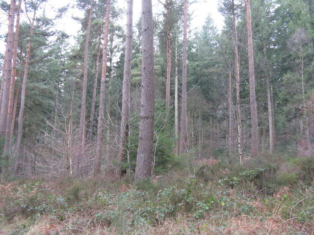 Conifer plantation at Whinfell