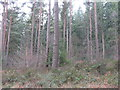 NY5727 : Conifer plantation at Whinfell by M J Richardson