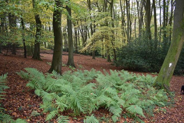 Beech trees, Doyley Wood