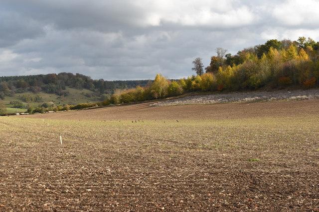 Autumn-sown cereal crop below Pishillbury Wood