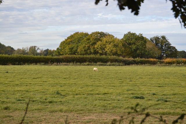 A lone sheep