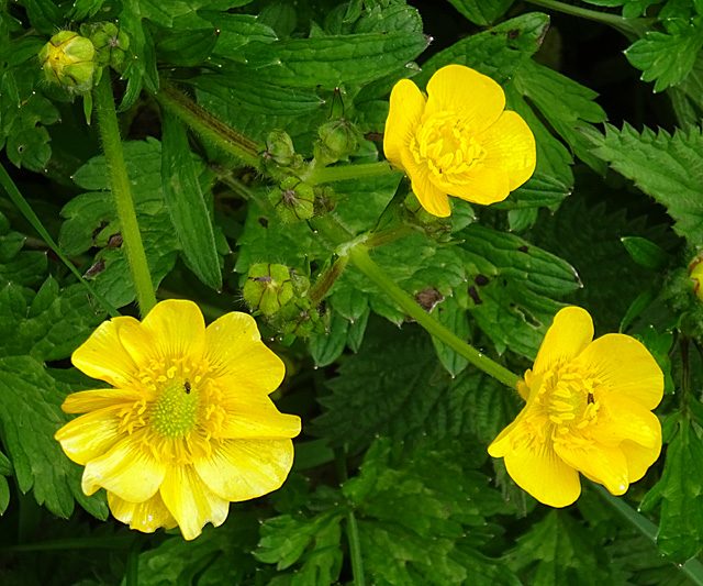 Creeping Buttercup (Ranunculus repens)