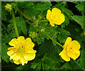SW5927 : Creeping Buttercup (Ranunculus repens) by Anne Burgess