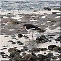 NJ0364 : Oystercatcher on the shoreline at Findhorn by valenta