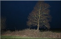 TL3477 : Tree by Pidley Hill west of Somersham by David Howard