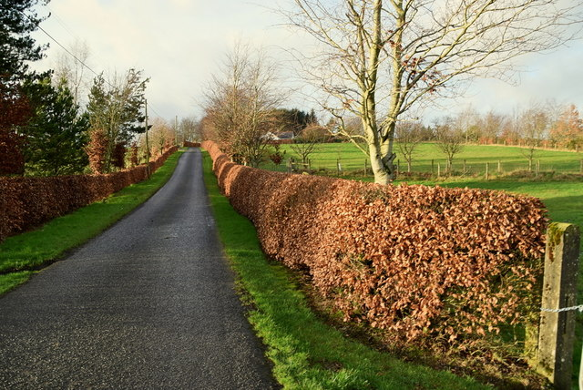 Copper Beech Hedge Along Mullaslin Road