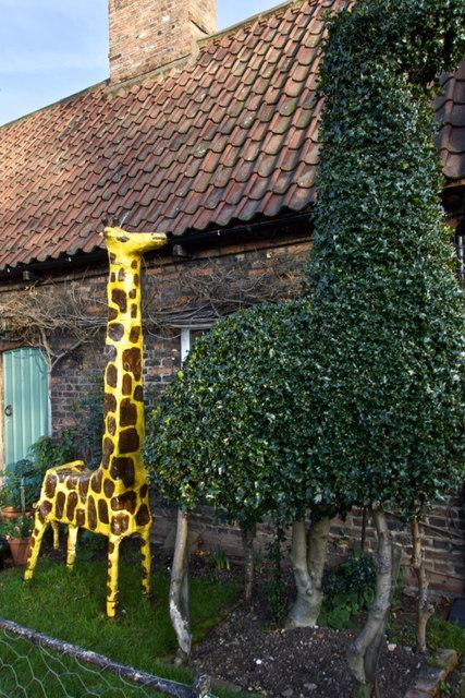 Cottingham giraffes