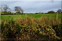 H5672 : Whins in blossom, Mullaghslin Glebe by Kenneth  Allen