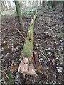 TL8193 : Dangerous  tree felled by David Pashley
