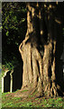 SX9165 : Yew, St Marychurch by Derek Harper
