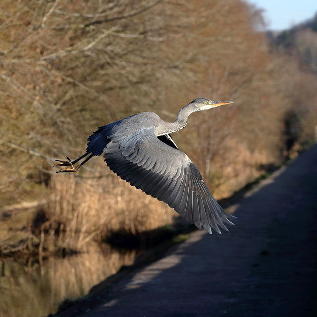 A grey heron at Philiphaugh