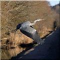 NT4527 : A grey heron at Philiphaugh by Walter Baxter