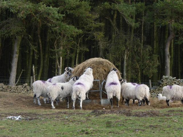 Feeding time on Wooler Knoll