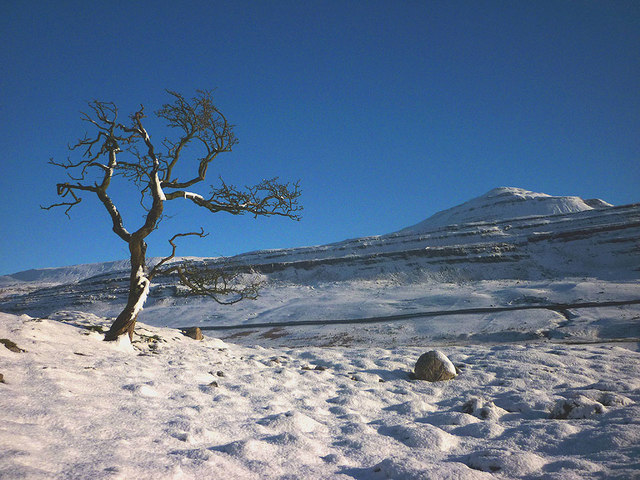 Winter hawthorn, Chapel-le-Dale