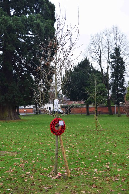 Newly planted oak tree with poppy wreath, Stourport War Memorial Park, Stourport-on-Severn