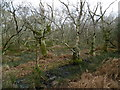 SY9787 : Coombe Heath, birch carr by Mike Faherty