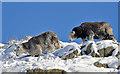 NY3312 : Herdwick sheep at Reggie Knott by Walter Baxter