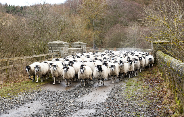 Sheep advancing