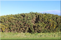 NS2006 : Gorse Bushes, Turnberry by Billy McCrorie