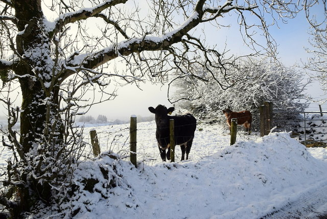 Cattle in the snow, Oxtown