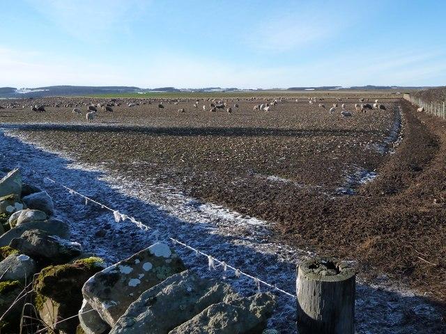 Sheep on Langwathby Moor in winter