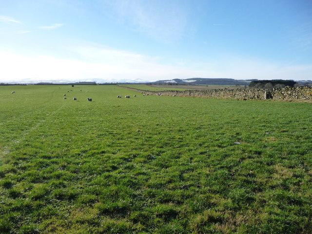 Sheep on Langwathby Moor
