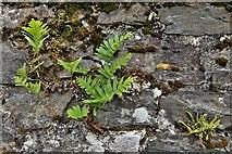 SX1061 : Restormel Castle: Ferns growing from the west battlement by Michael Garlick