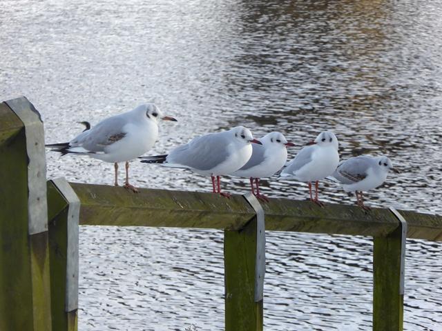 Black-headed Gulls beside the Tyne