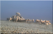 NT5934 : Sheep on Bemersyde Hill by Walter Baxter