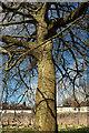 SX9066 : Beech tree, Torquay old cemetery by Derek Harper