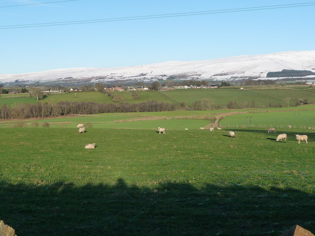 Sheep grazing, north of Langwathby's High Mill