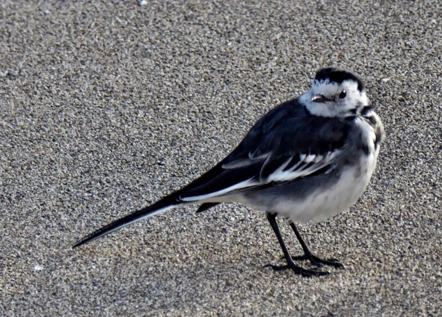 Pied wagtail, Omagh