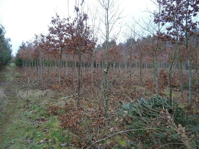 Young oaks, Winton Estate