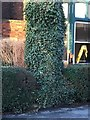 SK9771 : Ivy-covered tree and wall at 12/13 Drury Lane by Brian Westlake