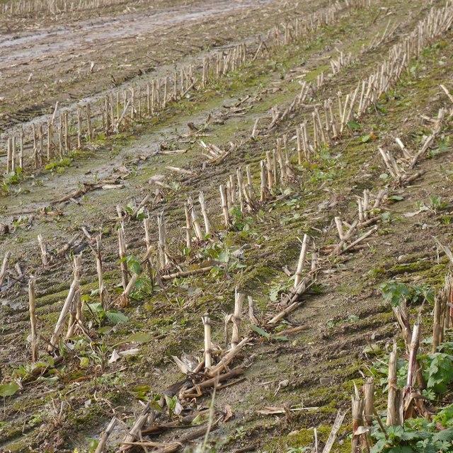 Fodder maize stubble